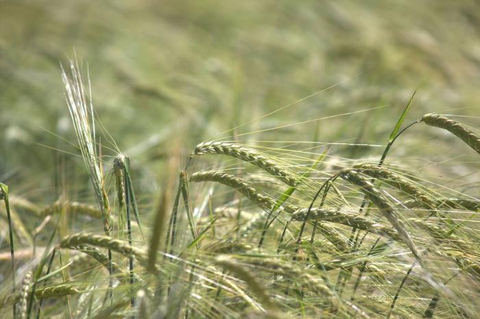22 июня 2017 г. День поля по зерновым культурам